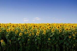 sunflower farming business plan