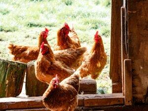 chicken farming business