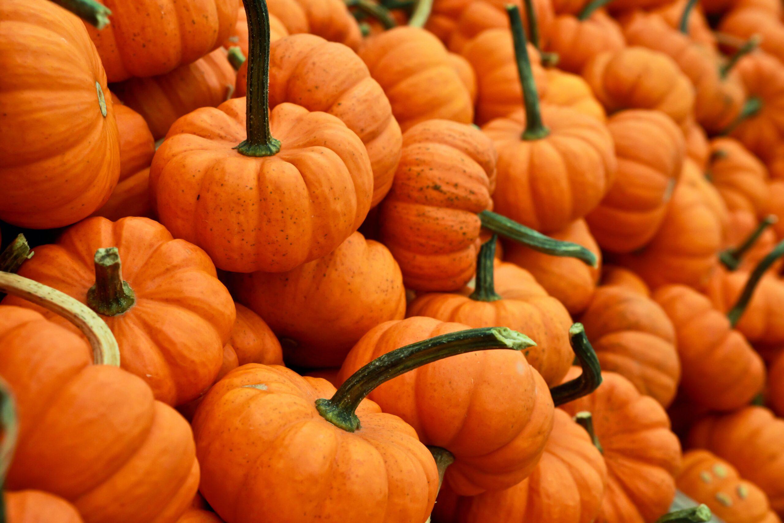 Pumpkin growers harvest