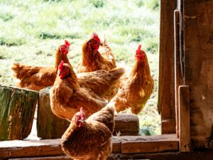 Poultry Farmers Hatch Quality Profits In Partnership With Wise Business Plans